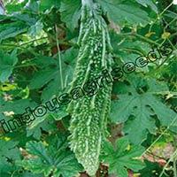 Indo Us Rudraksha Bitter Gourd F1 Hybrid Seeds