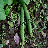 Indo Us Shiva Sponge Gourd Op Seeds