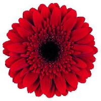Gerbera Flowers Products