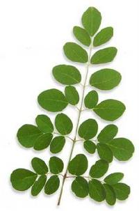 Moringa Trees Tender Leaves