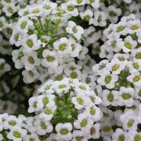 Alyssum Snow Carpet Seeds