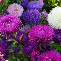 Aster Cut Flower Mix Seeds