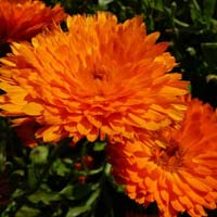 Calendula Fine Orange Seeds