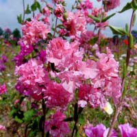 Clarkia Brillant Mix Flower Seeds
