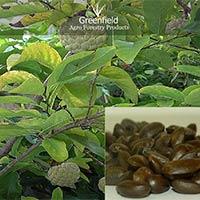 Custard Apple Seeds ( Annona Squamosa)