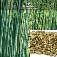Deshi bamboo tree  seeds ( Dendrocalamus strictus )