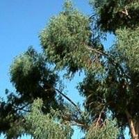 Eucalyptus Seeds