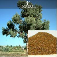 Eucalyptus Tree Seeds ( Eucalyptus Globalus )
