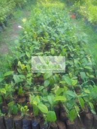 Kathal Plant, Jackfruit Plant  ( Artocarpus Heterophyllus)