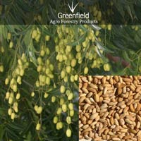 Neem Medicinal Seeds ( Azadiricta Indica )