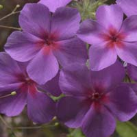 Phlox Flower Seeds