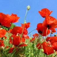 Poppy Red Flowers Seeds
