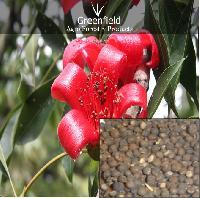 Semal Musli Seeds ( Bombax Mulabaricum )
