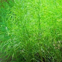 Shatavari Seeds
