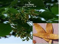 Sissoo tree seeds ( Dalbergia sissoo)