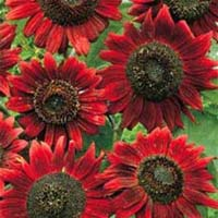 Sunflower Red And Brown Flower Seeds