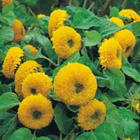 Sunflower Teddybear Flower Seeds