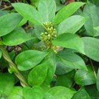 Gymnema Leaves