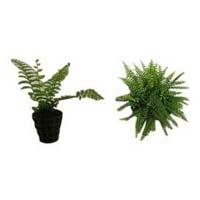 High Value Ornamental Plant