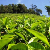 On-line Tea Manufacturing Arrangement - A Complete Manpower..