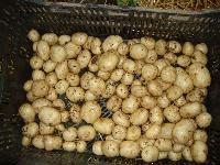 Potato Seed