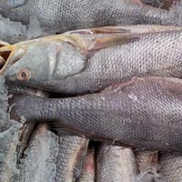 Frozen Ghol Fish
