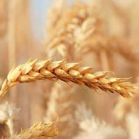 Brazilian Wheat