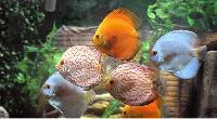 Fish Ornamental Aquarium