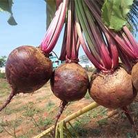 Beet Root Ruby Queen