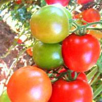 F1 Himdev Tomato