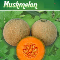 F1 Ruby 903 Muskmelon