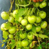 F1 Shantanu 2131 Tomato
