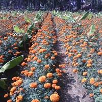 Hybrid Marigold Seeds