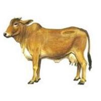 Cow Farming