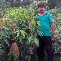 Mango Grafting Plants