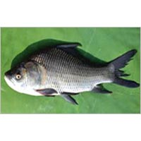 Catla Fish