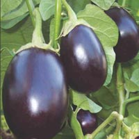 Brinjal Seeds (Prem - 387)