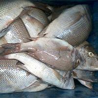 Fresh Chilled Emperor Fish