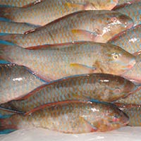 Chilled Parrot Fish