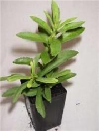 Stevia Herbal Plants