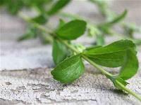 Stevia Herbs