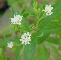 Stevia Sweetner Herbal Plants