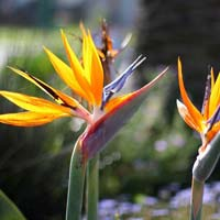 Fresh Strelitzia Flowers