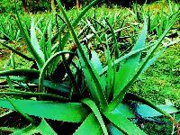Aloe Vera Plant (ghritkumari)