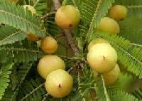 Emblica Officinalis Gaertn Plant (Amalaki)