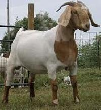 Live Thalassery Goat, Boer Cross Goat