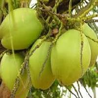 Green Tender Coconuts