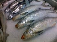 Fresh Seer Fish