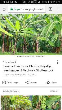 Fresh Banana Leave