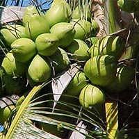 Matured Watery Coconut